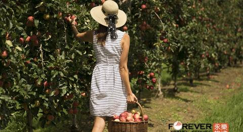 Woman collecting apples at Glenbernie Orchard in Darkes Forest